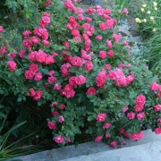 Розы Джорж Ванкувер