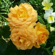 Розы Голделс