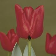 Тюльпаны Бен Ван Зантен