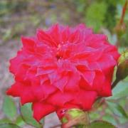 Розы Джипси Джевел