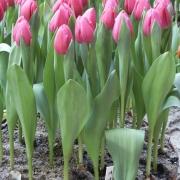 Тюльпаны Тинек ван дер Меер