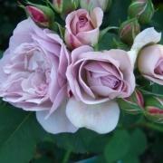 Розы Флоренс Делаттре