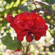 Розы Ред Саксесс