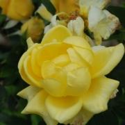 Розы Ландора