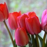Тюльпаны Ивонне