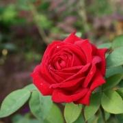 Розы Кашмир