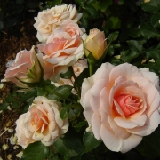 Розы Каллиопе