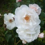 Розы Мария Матильда