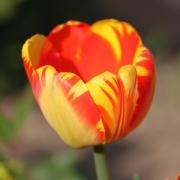 Тюльпаны Банья Лука
