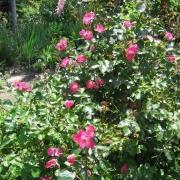 Розы Вильям Бут