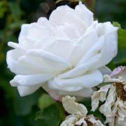 Roses Frau Karl Drushki