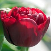 Тюльпаны Эмблазон