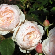 Розы Мадам Фигаро