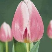 Тюльпаны Валентин