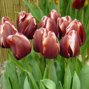 Тюльпаны Армани