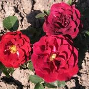 Розы Эрна Грутендорст