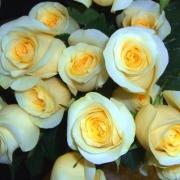 Розы Крем Сенсейшен
