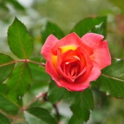 Розы Сорбет