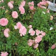 Розы Майне Ома