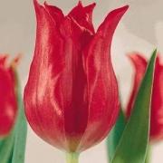 Тюльпаны Ровер Леди