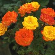 Розы Айриш Айз