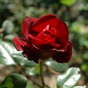 Розы Г.Х. Андерсен