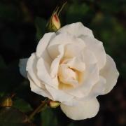 Розы Эдельвейс
