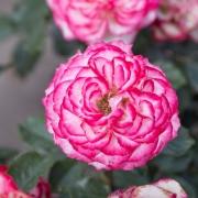 Розы Маврикий