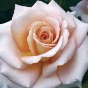 Розы Кингс Мак