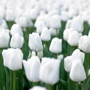 Тюльпаны Гвен