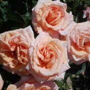 Розы Малага
