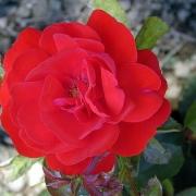 Розы Трумпетер