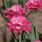 Тюльпаны Кингстон