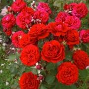 Розы Кронборг