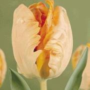 Тюльпаны Онедин