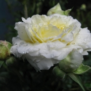 Розы Сноу Меилландина