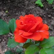 Розы Чин-Чин