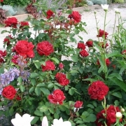 Розы Белле де Р
