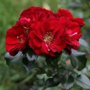 Розы Альпенгл