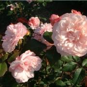 Розы Анне Болейн