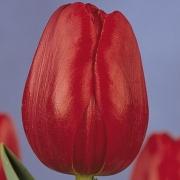 Тюльпаны Ари Хоук