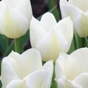 Тюльпаны Сильвер Доллар
