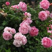 Розы Розенфи