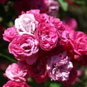 Розы Вердун