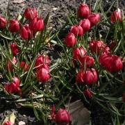 Тюльпаны Лиллипут
