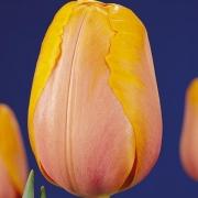 Тюльпаны Морнинг Делайт