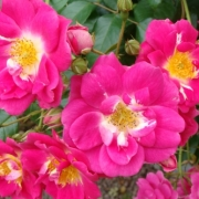Розы Лютин