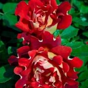 Розы Шоколад Раффлз