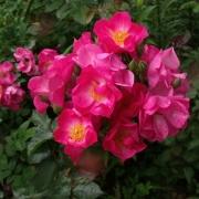 Розы Фейр Плэй