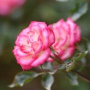 Розы Мейджик Карусель